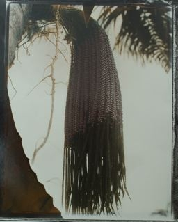 Patawa, Serie Plantas Amazonas, 2006<br/>Impresión de tintas de pigmentos / Inkjet
