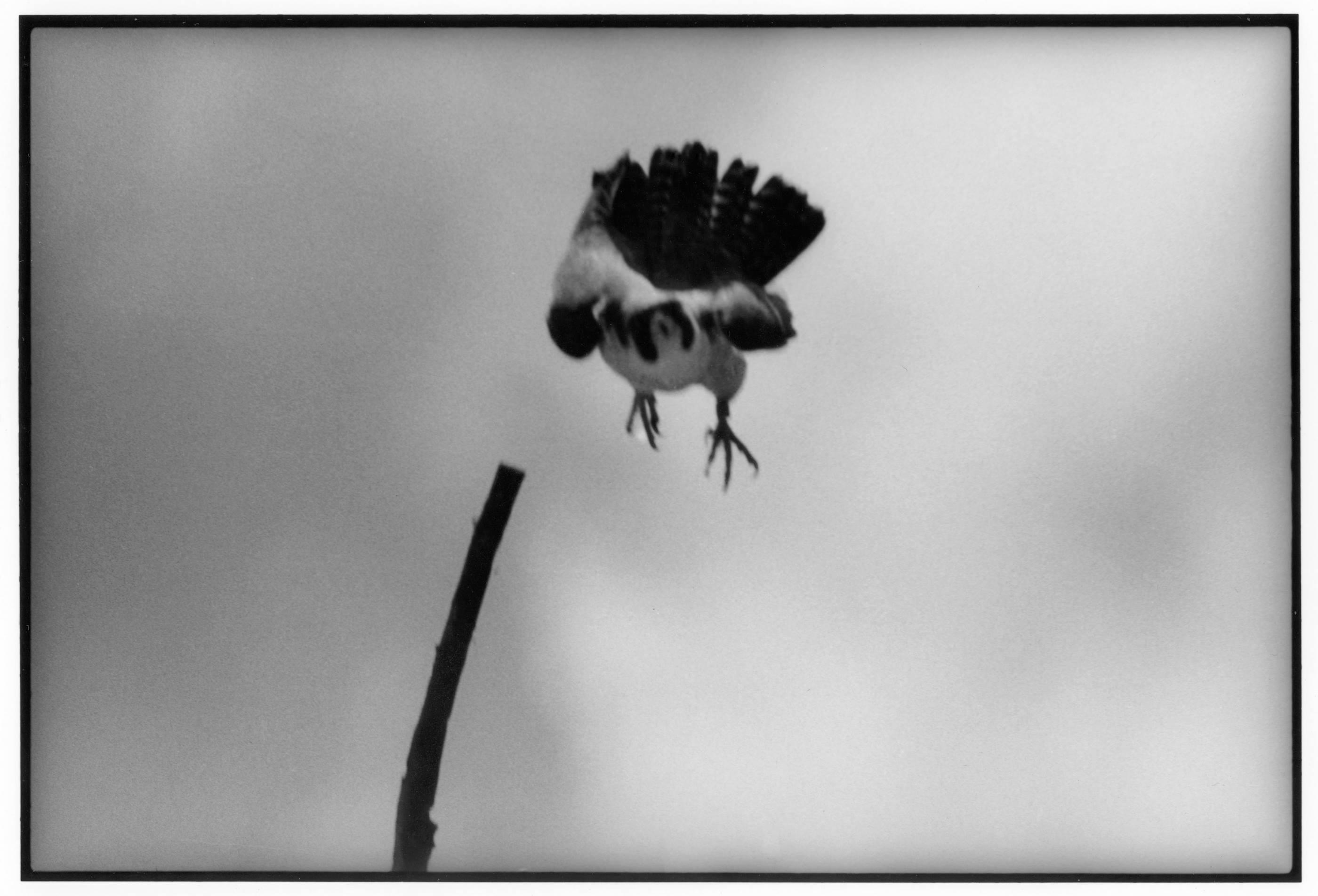Peregrin Falcon. NY, 1991<br/>
