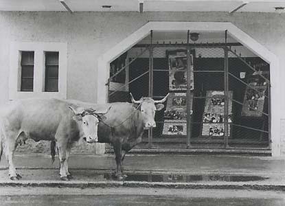 Ricard Terré. Vacas en el cine. Galicia, 1956<br/>Gelatina de plata / Silver gelatin